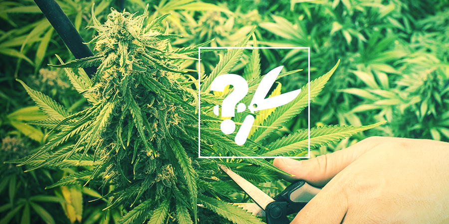 When is the cannabis plant ready for harvest?