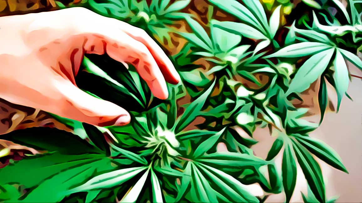 why to grow Cleopatra cannabis strain?