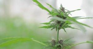 how to grow cbd cannabis plant