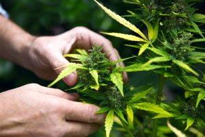 cbd cannabis plant
