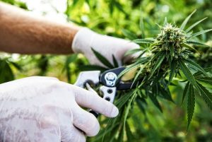 growing cbd cannabis strain