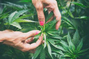 cbd cannabis strain