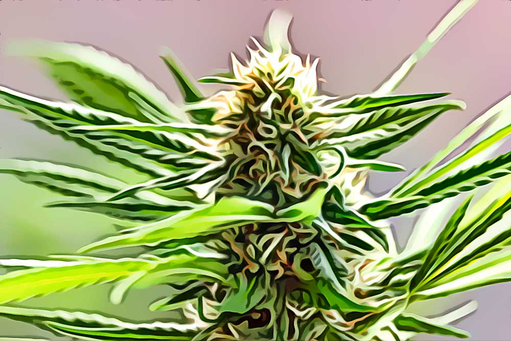 """Featured image for """"Megaton cannabis strain and why to choose it."""""""