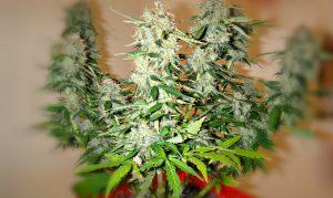 cannabis buds autoflowers