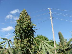 huge cannabis plant