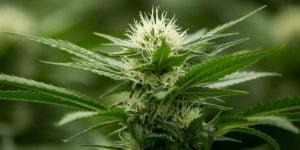 Megaton cannabis strain